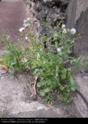 Occurrence des plantes spontanées milieu urbain